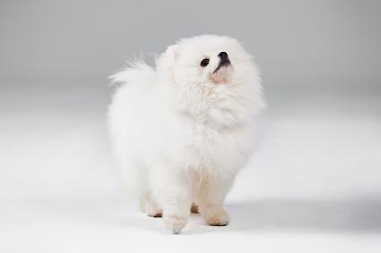 Standing White Pomeranian Puppy
