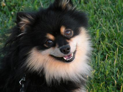 Portrait of Tan Point Pomeranian Pup