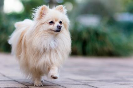 Cream Pomeranian pup outside