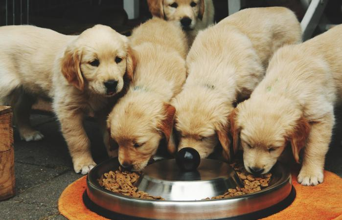 Golden Retriever Puppies Eating Food In Bowl