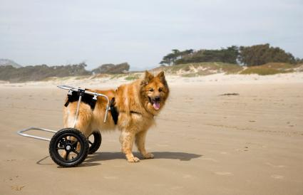 A differently-abled dog on the beach
