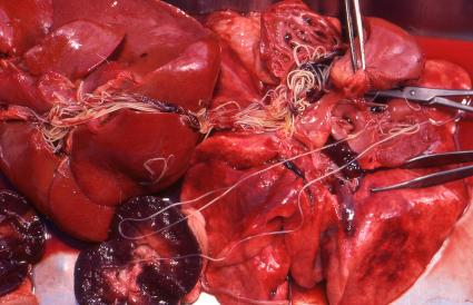 Heartworm in internal organs of a d