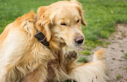Adult Golden Retriever Scratching fleas