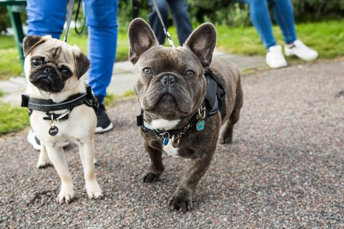 Pug and French Bulldog in class