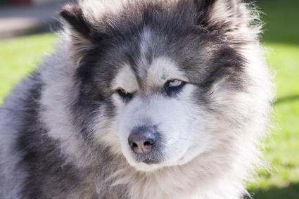 Portrait of an Alaskan malamute