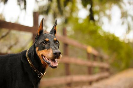 Doberman Pinscher At Park