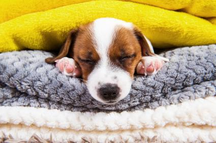 Jack Russell Terrier Puppy Dog Is Sleeping Under The Blanket In Bed