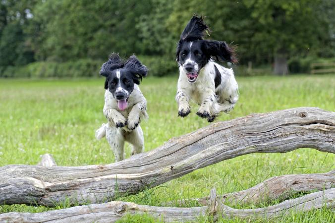 two spaniels jumping over a fallen tree