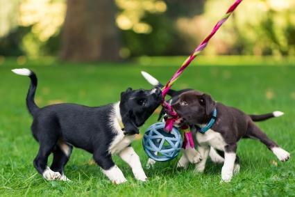 Border Collie puppies playing and training outdoors