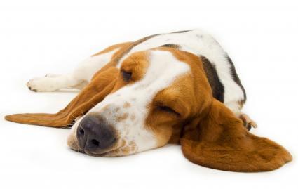 Basset Hound sleeping