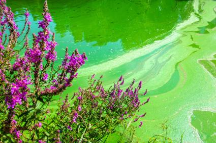 Blue-green algae bloom on pond (cyanobacteria)