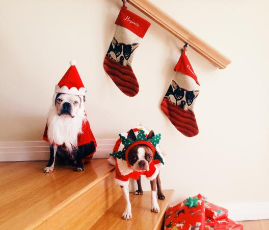 Boston terriers in Christmas costumes posing in front of Stockings