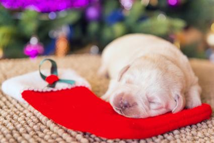 yellow labrador puppy sleeping on a red Christmas stocking