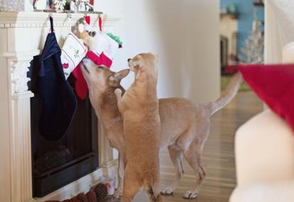 Two Dogs Sniff Out Their Xmas Stockings