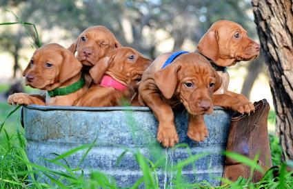Bucket of Vizsla pups
