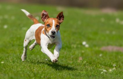 Fast running Jack Russel Terrier