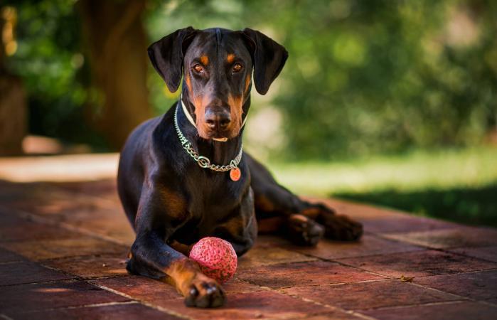 Doberman with his ball