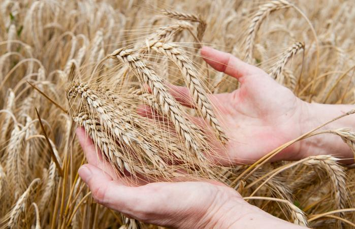 Hands holding ripe ears of wheat