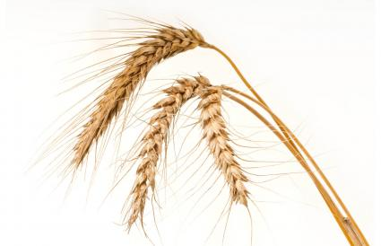 Ripe golden wheat on white