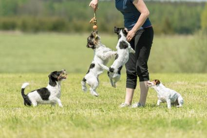 Working with a pack of Jack Russell Terriers