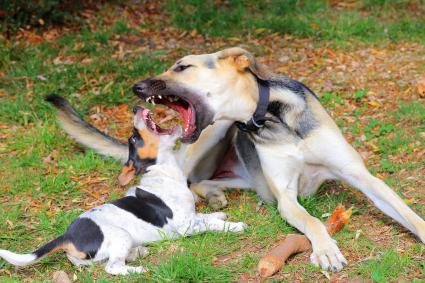 Adult and puppy dog playing and biting