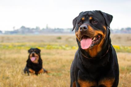 Rottweilers On Field Against Sky