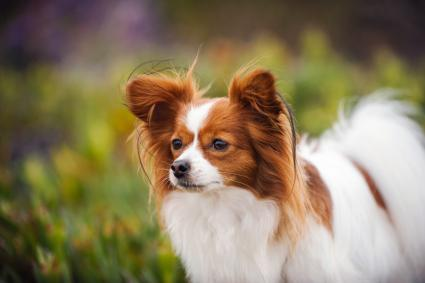 Papillon Dog Looking Away
