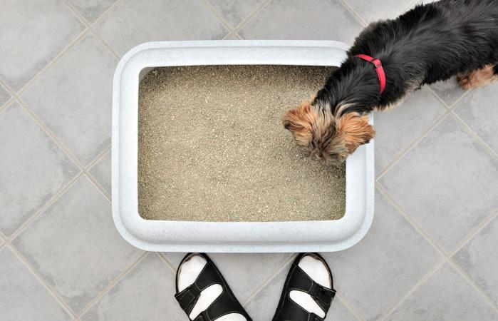 Dog looking at the litterbox