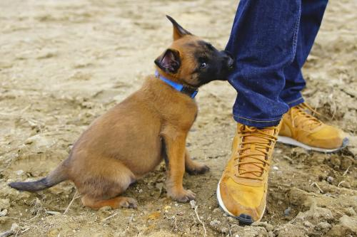 Belgian Shepherd Malinois puppy biting jeans