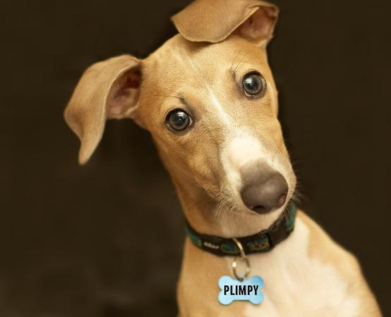 Funny image of Italian Greyhound named Plimpy