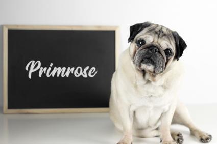 Pug with name Primrose on blackboard