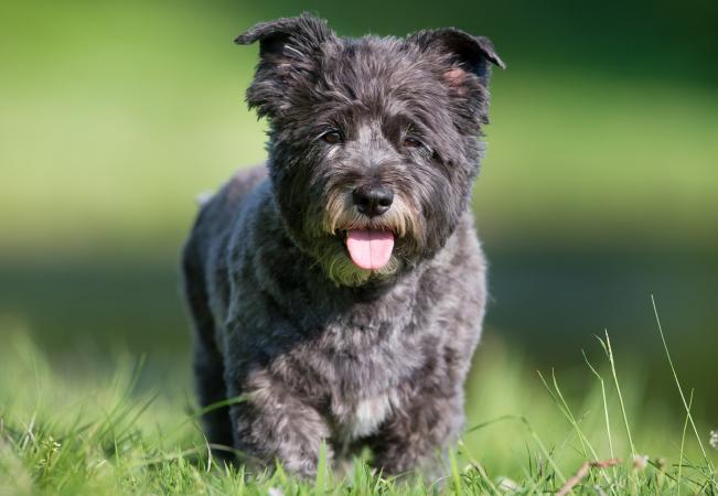 Cairn terrier running in the grass