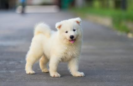 Samoyed Dogs As Pets Lovetoknow