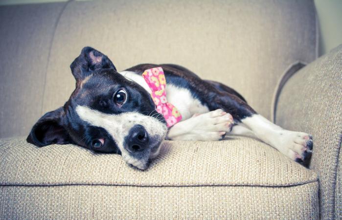 Boglen terrier dog lying on sofa