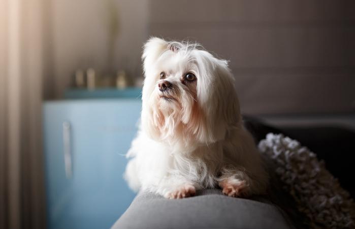 White Lhasa Apso dog