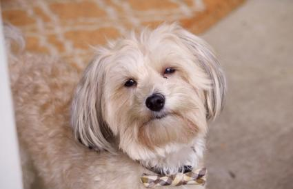 Lhasa Apso At Home
