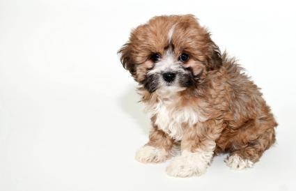 Sweet little Lhasa puppy