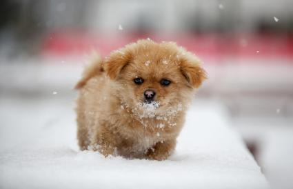 Pekingese dogs playing in snow