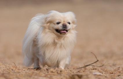 beautiful fawn pekingese
