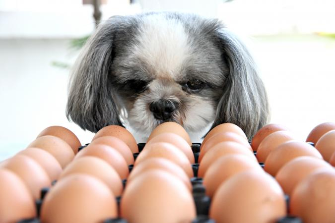 Dog staring at eggs on counter