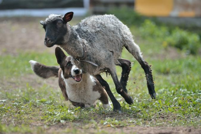 Cardigan Welsh Corgi dog herding sheep
