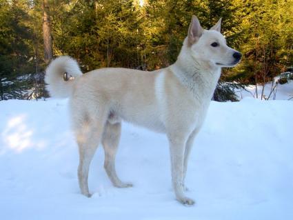 Cannan Dog in snow