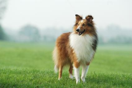 Collie standing on lawn