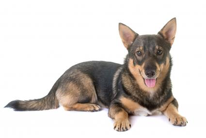 Swedish Valhund dog