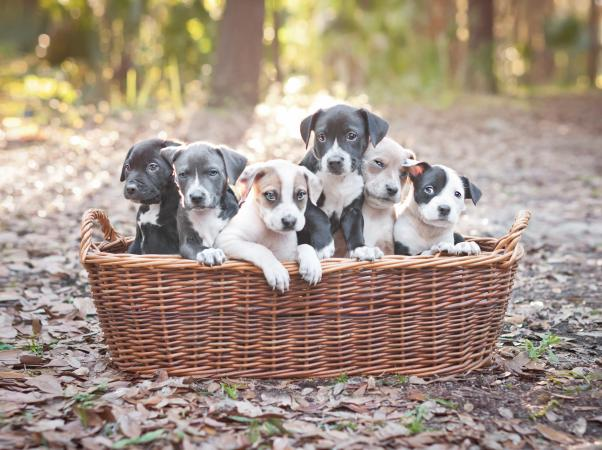 Basket of Pitbull puppies