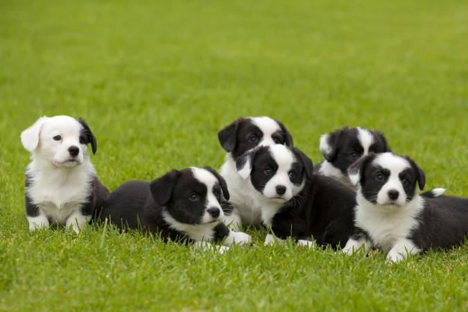 Cardigan Welsh Corgi litter of puppies