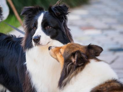 Border Collie and Shetland Sheepdog