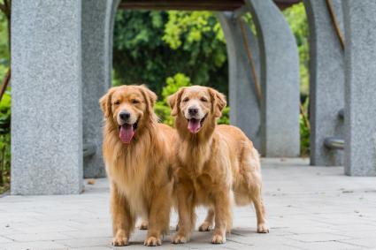 Pair Golden Retrievers