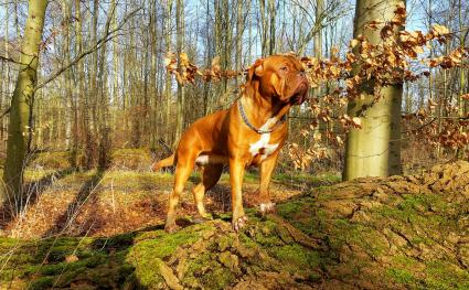 Dogue de Bordeaux aka French Mastiff