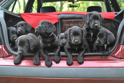 Black Labrador puppies in the back of a vehicle